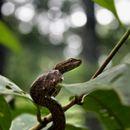 Image of Common Mock Viper