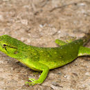 Image of anoles