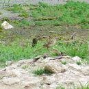 Image of Striated Grassbird