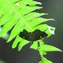 Image of <i>Luma sericea</i> Butler
