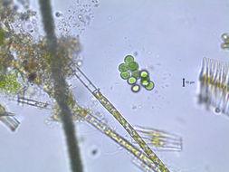 Image of <i>Chroococcus limneticus</i> Lemm