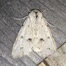 Image of Vulpina Dagger Moth