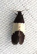 Image of <i>Kearfottia albifasciella</i> Fernald 1904