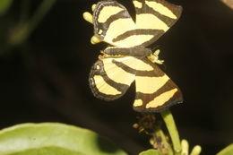 Image of <i>Baeotis zonata</i> Felder 1869