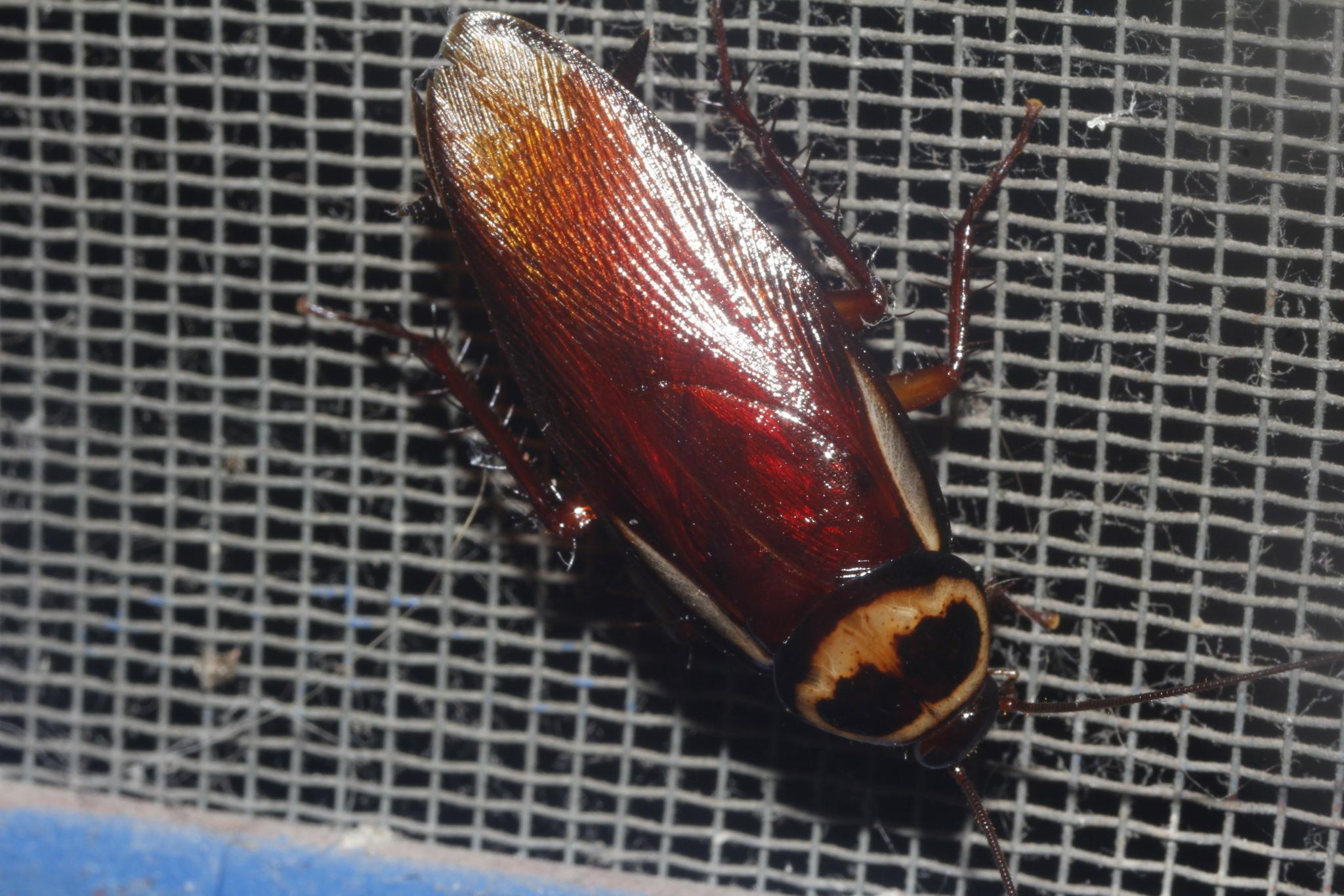 Image of Australian cockroach