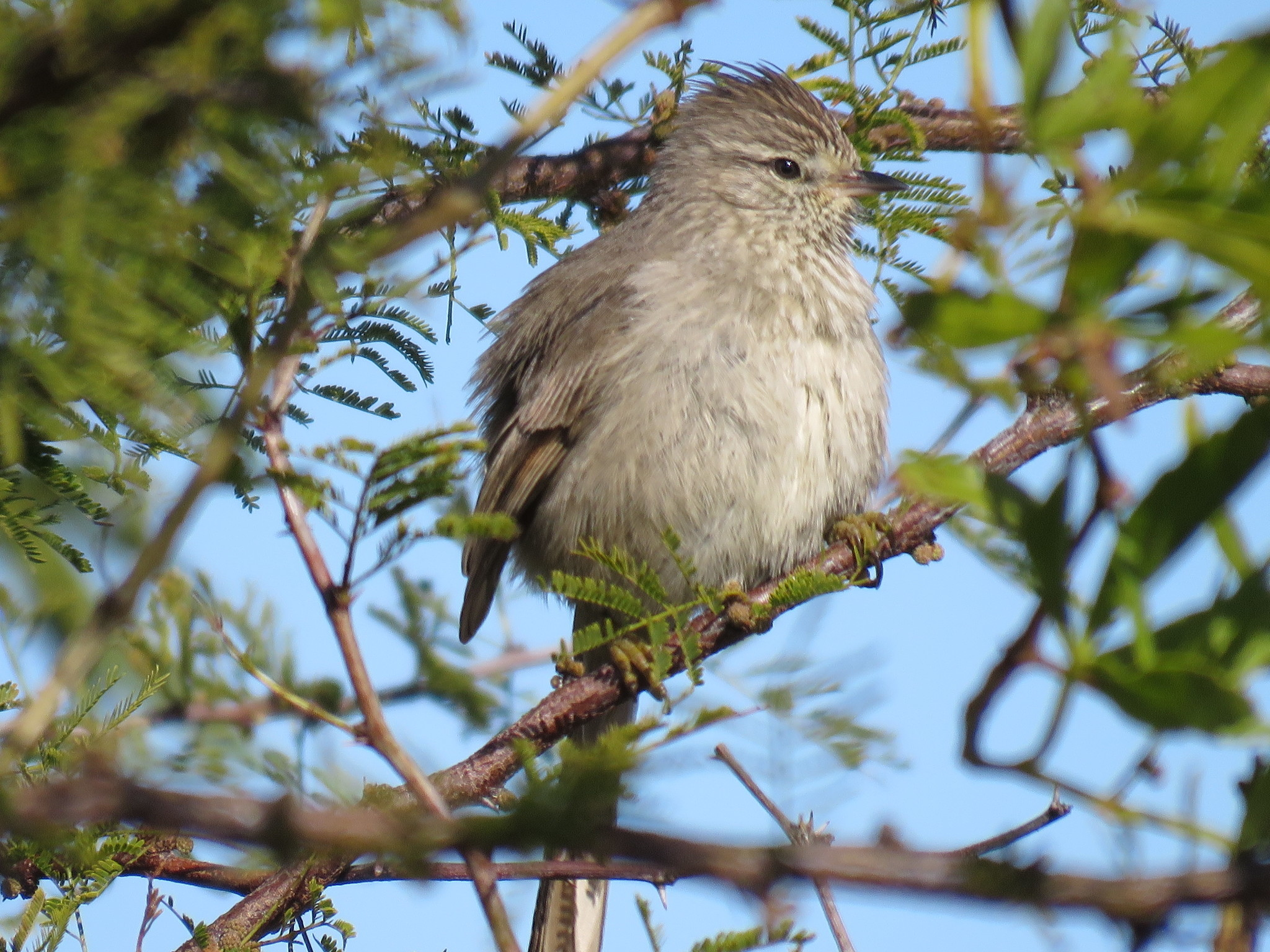 Image of Tufted Tit-Spinetail