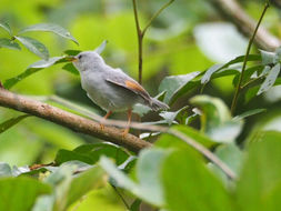 Image of Red-winged Grey Warbler
