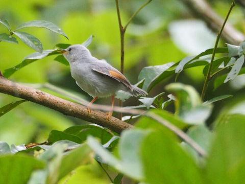 Image of Red-winged Grey Warbler