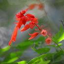 Image of <i>Salvia splendens</i>