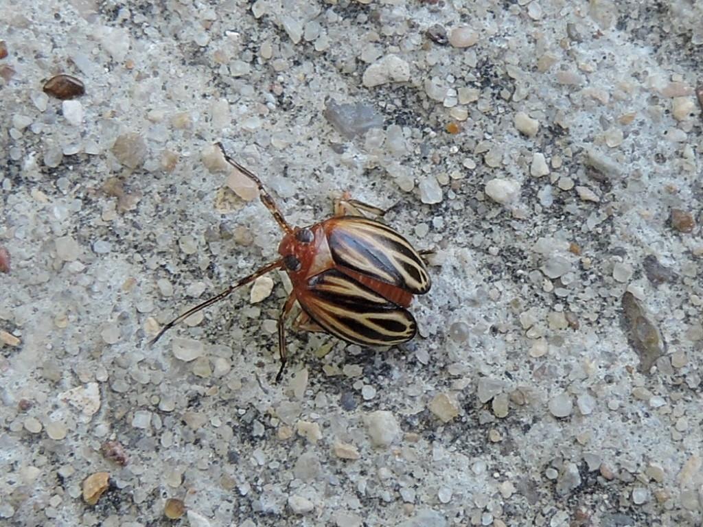 Image of <i>Phylloscelis atra</i>
