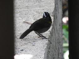 Image of Orange-billed Sparrow