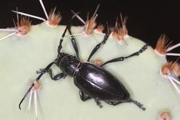 Image of Longhorn cactus beetle