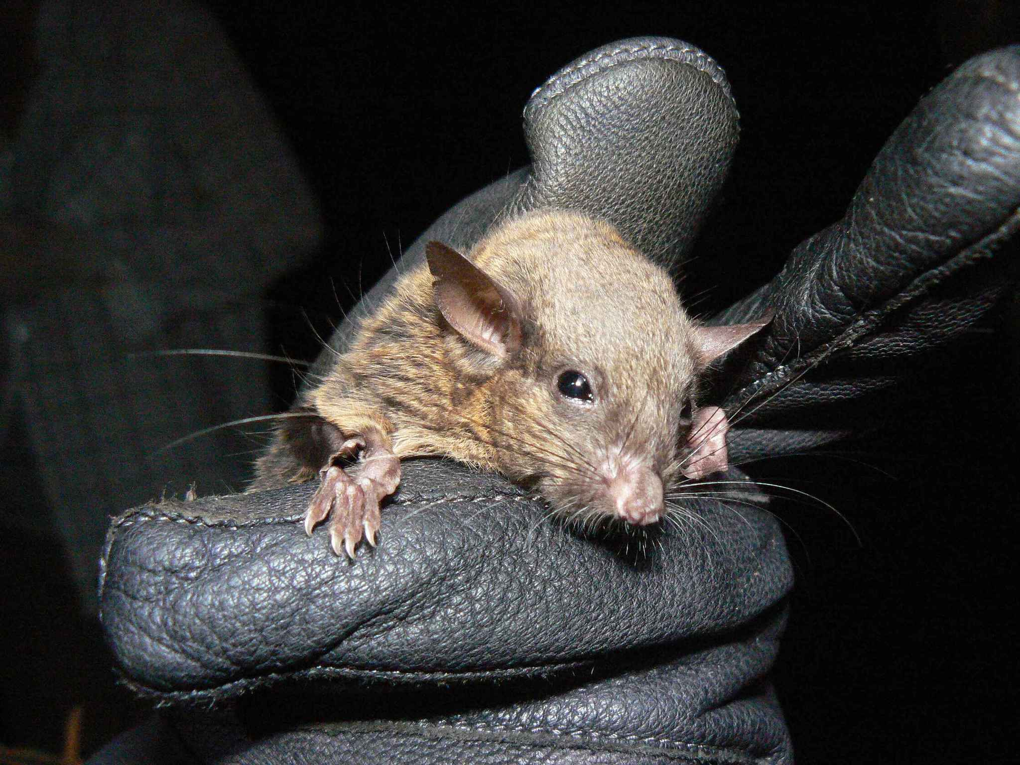 Image of Long-eared Flying Squirrel