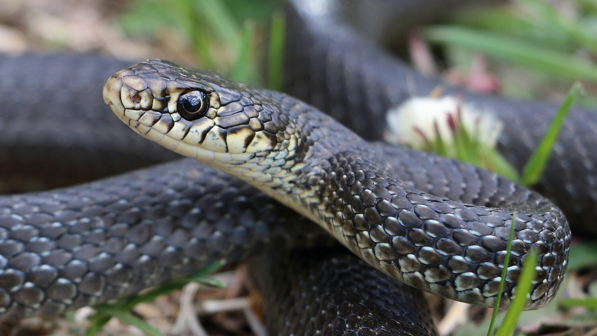 Image of Western whip snake