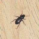Image of black beetle