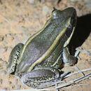 Image of Galam white-lipped frog