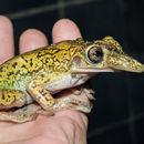 Image of Treefrog