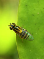 Image of Chloropid fly