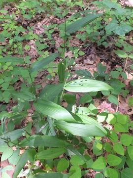Image of broadleaf rosette grass
