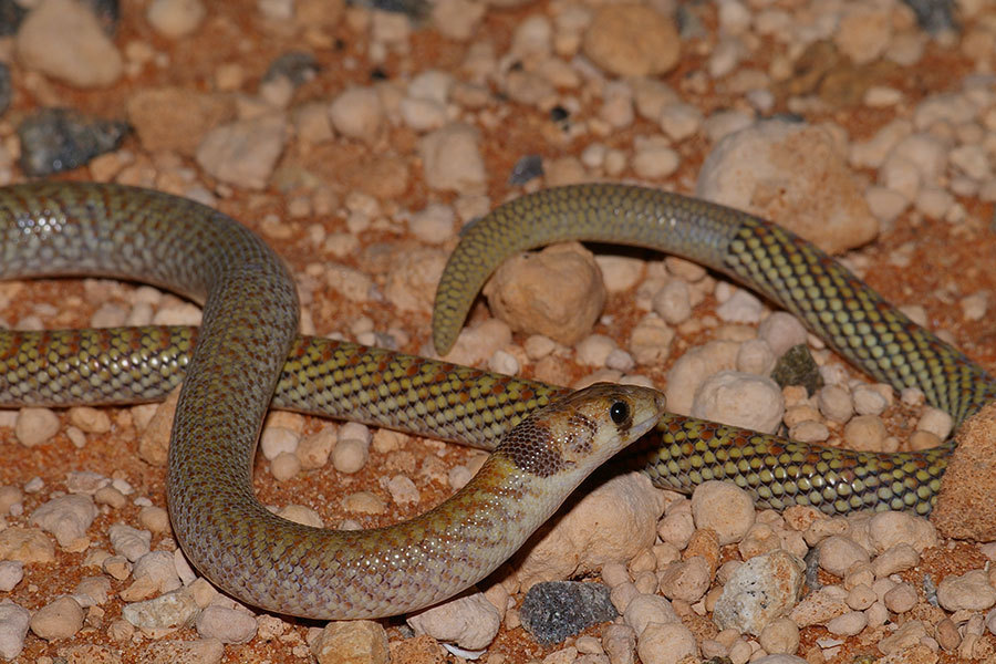 Image of Western hooded scaly-foot