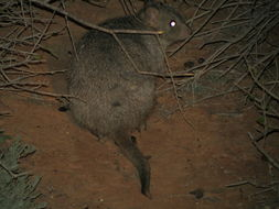Image of Burrowing bettong
