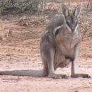 Image of Bridled Nail-tail Wallaby