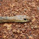 Image of African Beauty Snake