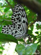 Image of Malabar Tree-nymph