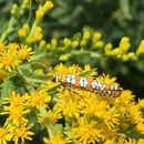 Image of Ailanthus Webworm Moth
