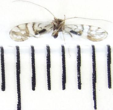 Image of <i>Zelandopsocus formosellus</i> Tillyard 1923