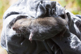 Image of Montane Vole