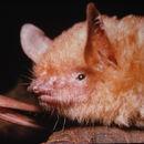 Image of Morris's Bat