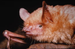 Image of Morris's Bat