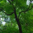 Image of <i>Acer saccharum</i>