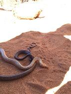Image of Tiny Night Snake