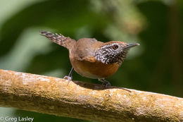 Image of Rufous-breasted Wren