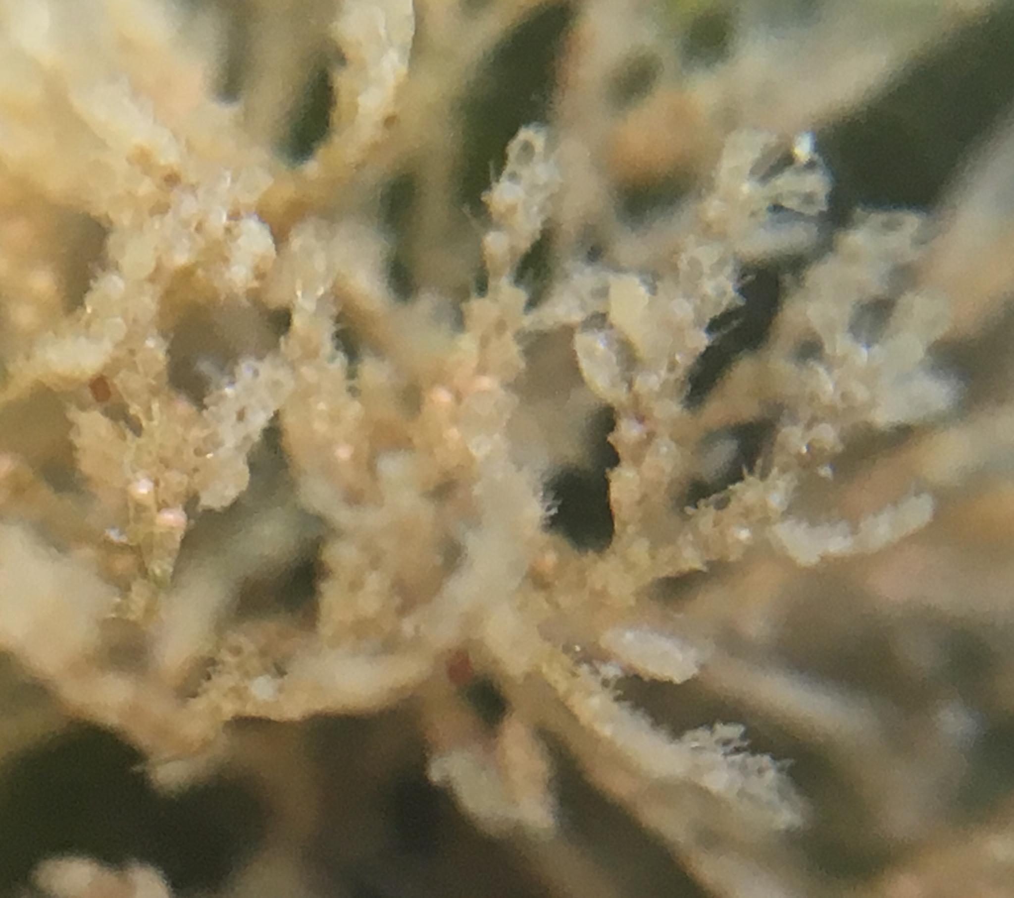 Image of <i>Bugula stolonifera</i>