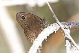Image of Small Wood Nymph