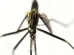 Image of <i>Aedes japonicus</i> (Theobald 1901)