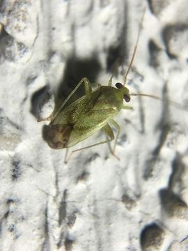 Image of Broken-backed Bug