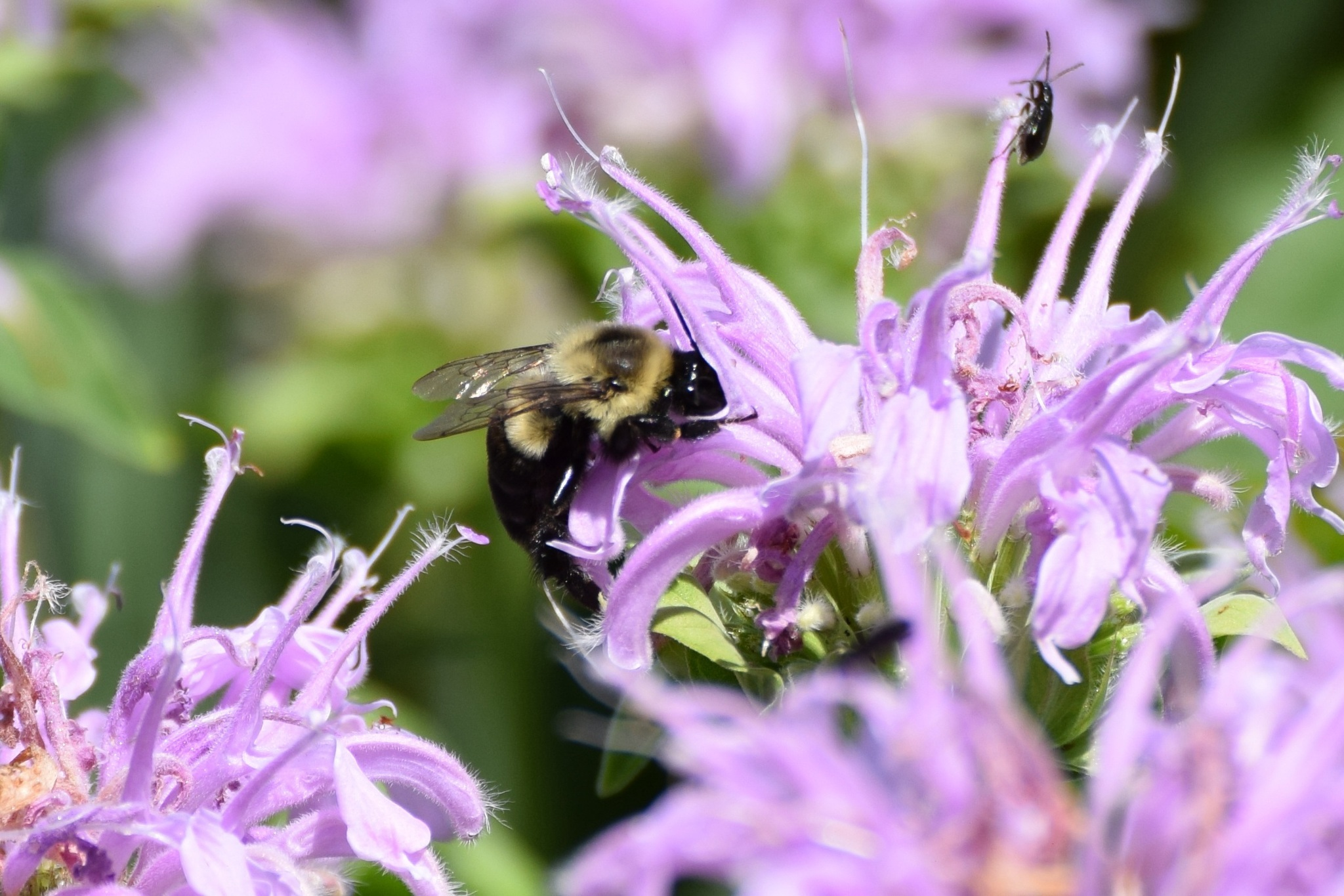 Image of Common Eastern Bumble Bee
