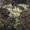 Image of <i>Euphorbia marginata</i>
