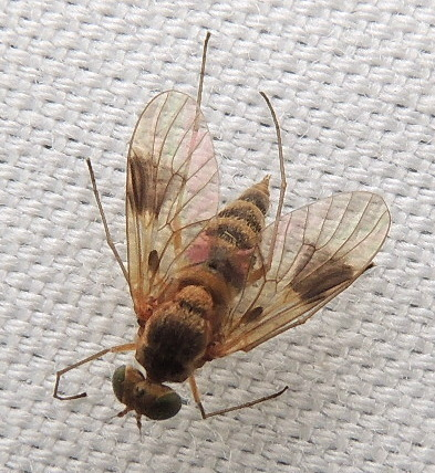 Image of <i>Chrysopilus quadratus</i> (Say 1823)