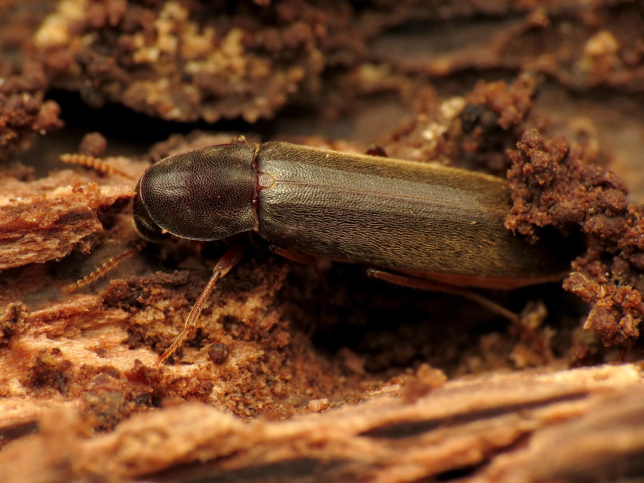 Image of Chestnut Timberworm
