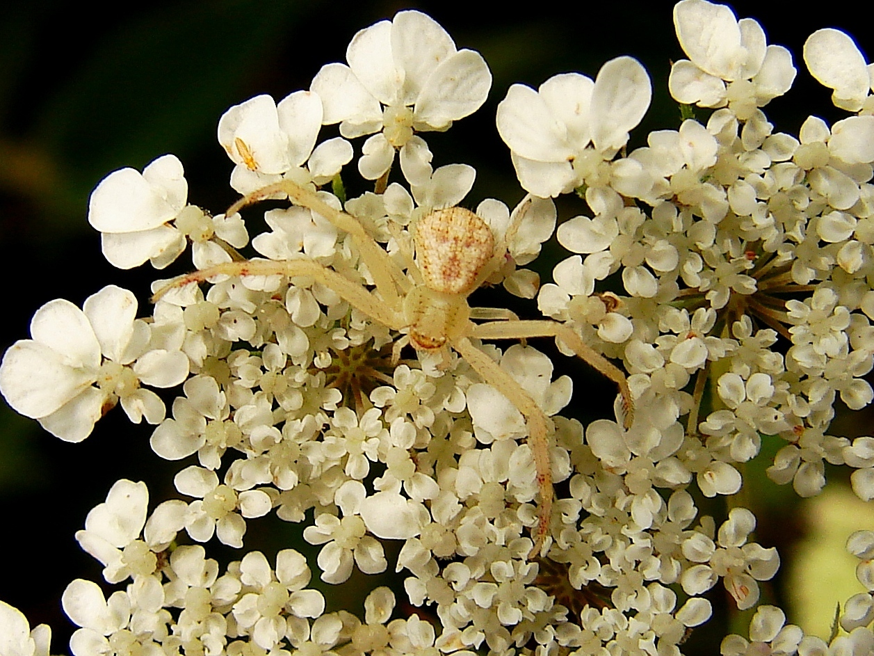 Image of <i>Misumenops asperatus</i>