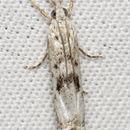 Image of <i>Microcrambus minor</i> (Fbs. 1920)