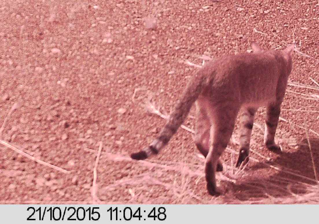 Image of Northern African Wild Cat