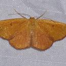 Image of <i>Semaeopus ella</i> Hulst 1896