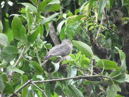 Image of Common Hawk-Cuckoo