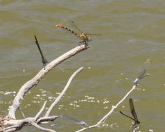Image of Eastern Ringtail